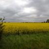 Чехия, репсовое поле