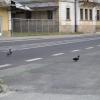 Грженско, утки переходят дорогу